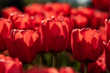 Fresh Red Tulips In Sunlight, Low Angle