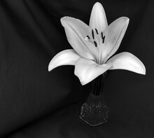 An Appealing Black And White Portrait Of A Lily In A Glass Vase. A Beautiful Contrast With Plenty Of Copy Space. Slight Bokeh Effect.