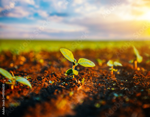 Canvastavla Young sunflower sprout growing out from soil in the sunny day.