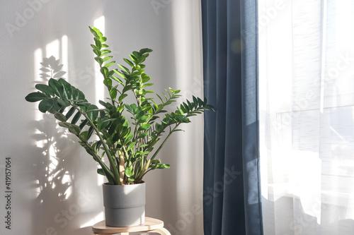 Fotografia Zamioculcas or Zanzibar gem, ZZ plant, Zuzu plant grown at the nursery
