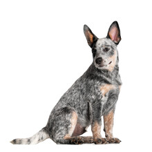 Australian Cattle Dog Puppy Sitting On White Background