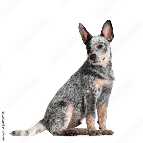 Fotografie, Tablou australian cattle dog puppy sitting on white background