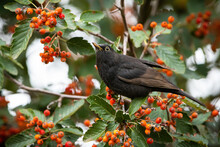 Common Blackbird, Turdus Merula, Feeding On Rowan In Autumn Nature. Black Songbird Sitting On Branch Of Tree With Healthy Berries. Bird With Yellow Wings Looking From Bough.