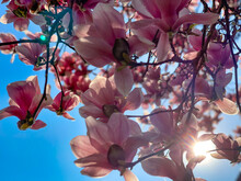 Flowers Of Magnolia Tree Against Blue Sky In Spring Season