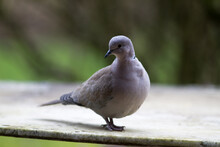 Collared Turtle-dove Standing Over Blurred Green Natural Background