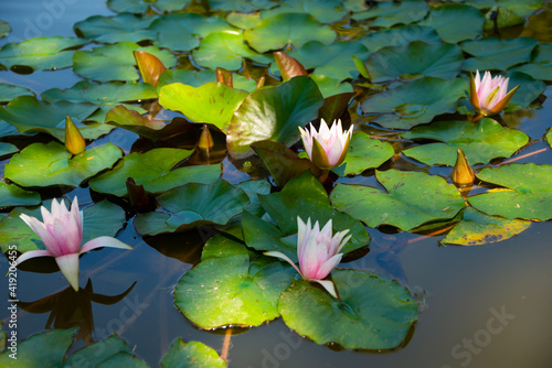 Fototapeta Beautiful pink water lily or lotus flower in pond