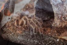 Tarantula Spider In Captivity. Grammostola Rosea.
