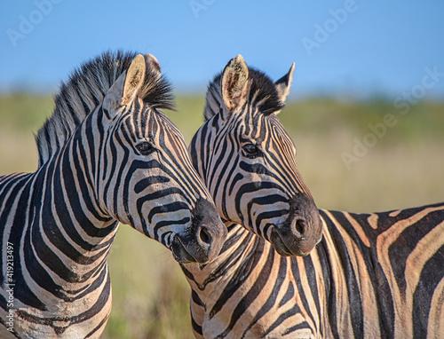 Fototapety, obrazy: Zebra in the wild