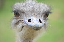 Ostrich Portrait With Green Eyes And Green Background