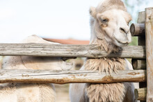 Camel In An Aviary At The Zoo