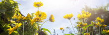 Beautiful Yellow Flowers In Spring With A Blue Sky