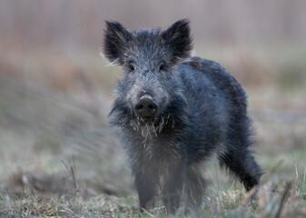 Wil boar walking in forest