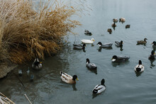 A Group Of Ducks Swimming In A Pond On A Cold Winter Day