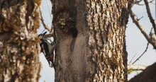 Description: A Great Spotted Woodpecker (Dendrocopos Major) Landing On A Tree With A Nest And Then Flying Away.
