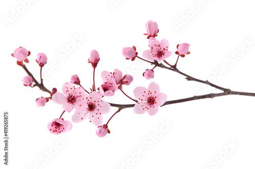 Foto Pink spring cherry blossom