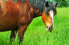 Chestnut Colored Clydesdale Horse Enjoying The Tall Green Grass In Pasture