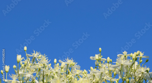 Cuadros en Lienzo Clematis flammula flowers, known as fragrant virgin's bower on a background of blue sky