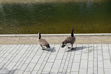 Country Goose On A Bridge
