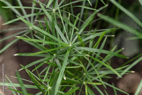 Fototapeta cyperus plant close-up. homemade green plant