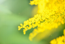 Blurred Background. Yellow Flowers Solidago (Common Goldenrod). Summer And Spring Backgrounds. Selective Focus.