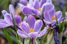 The Crocus Sativus, Or Saffron Crocus, Or Autumn Crocus Flowers Sold At The Glasshouse