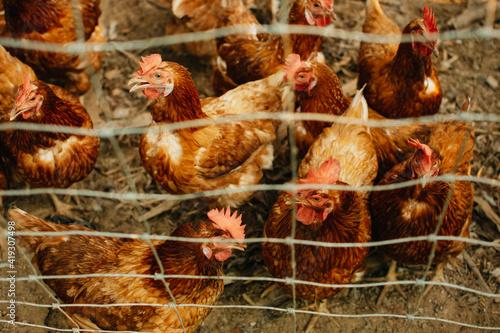 Fotografija Eggs Chickens in organic farm