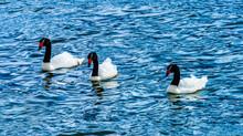 Black-necked Swans Punta Natales Chile