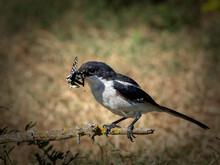 Common Fiscal Shrike With A Butterfly Catch
