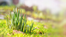 Young Green Grass Close-up Sprouts Of Daffodil Flowers Sunlight Blurred The Background Of Free Space To Text Horizontal Wide Banner Soft Selective Focus Concept Spring Gardening.