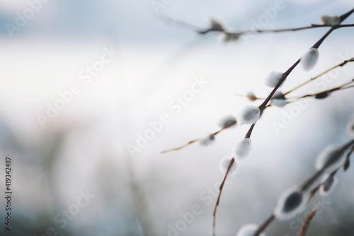 Fototapeta Spring nature background with pussy willow branches