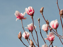 Pink Magnolia Flower Bloom On Blue Background On Magnolia Tree.Spring Floral Background