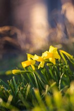 A Warm Portrait Of A Bunch Of Daffodils Standing In The Grass Of A Lawn In A Garden In The Direct Sunlight Of Golden Hour.