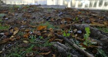 Dry Leaves And Many Horse Chestnuts Conkers Lying Among Tree Roots Autumnal Concept