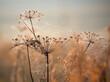 Jesienny Dziki Koper w Pajęczynach