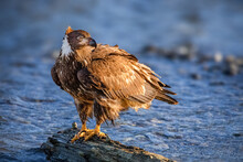 Juvenile American Eagle Perched On A Log By The Fraser River Looking Out For Salmon.