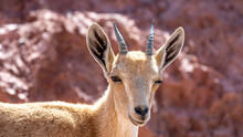 Isolated Close Up Portrait Of A Young  Mountain Goat In The Wild- Southern Israel