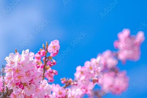 Fotografie, Tablou 【初春・早咲き桜】河津桜