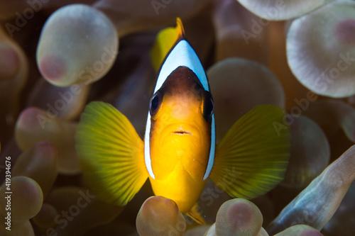 Anemone fish Fotobehang