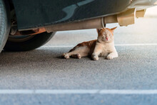 A Street Stray Cat Sit Back To Resting And Napping Near Exhaust Pipe Under A Parked Car In Urban. Homeless Animals Concept. Dangerous For Cats ,Caution