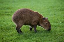 Capybara, Cochon D'eau, Hydrochoerus Hydrochaeris