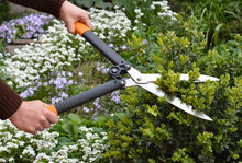 Work In The Garden: A Gardener Is Trimming, Pruning And Shaping Boxwood, Buxus Using Hedge Shears  With Blooming Flowers, Arabis And Creeping Phlox In The Background.