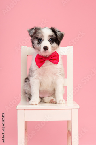 Photo Cute  border collie puppy sitting on a white wooden chair on a pink background w