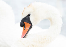 Close Up Portrait Of A Swan Surrounded In White
