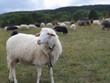 canvas print picture - Schaf auf Wiese. Im Hintergrund eine Schafherde.