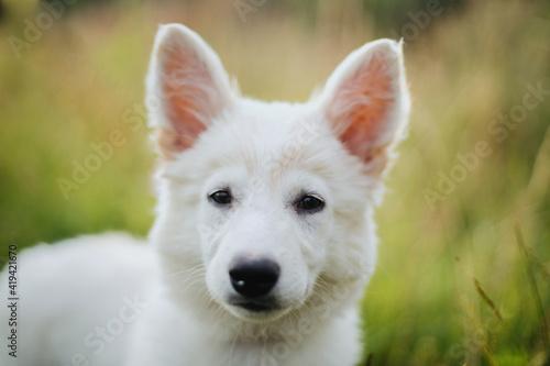 Cute white puppy portrait in warm sunny light among grass in summer meadow Fototapeta