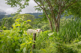 Herd of white Nelore cattle grazing in a pasture on a reen feld of grass.  Costa Rica, central America..