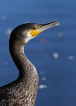 Close Up Of A Cormorant