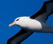 Wenkbrauwalbatros; Black-browed Albatross; Thalassarche melanophrys