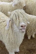 Angora Goat Sticking Tongue Out