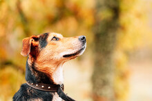 Muzzle Of Adorable Domestic Mongrel Dog With Red And Black Fur Looking Away On Blurred Park Background